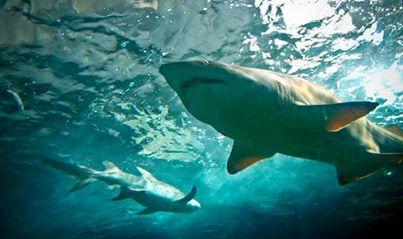 Rajeunissement : les dents qui repoussent du requin