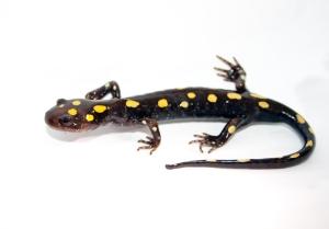 Rajeunissement : les membres qui repoussent chez la salamandre